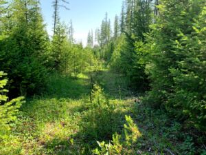 Hiking: Flathead National Forest July 2021 photo of overgrown road